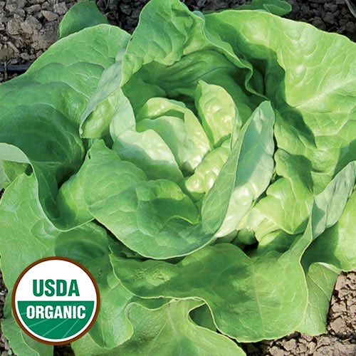 butterhead style lettuce with bright green soft curly leaves.  U S D A organic logo in lower left corner