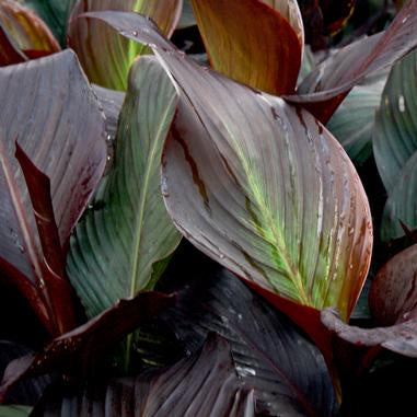 several large pointed leaves in burgundy with green central highlight