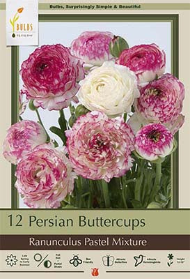 Multiple blooms in white, light and dark pinks blooms with many layers of petals with ruffled edges on green stems