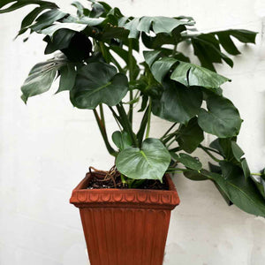 large monstera in square orange brown clay pot