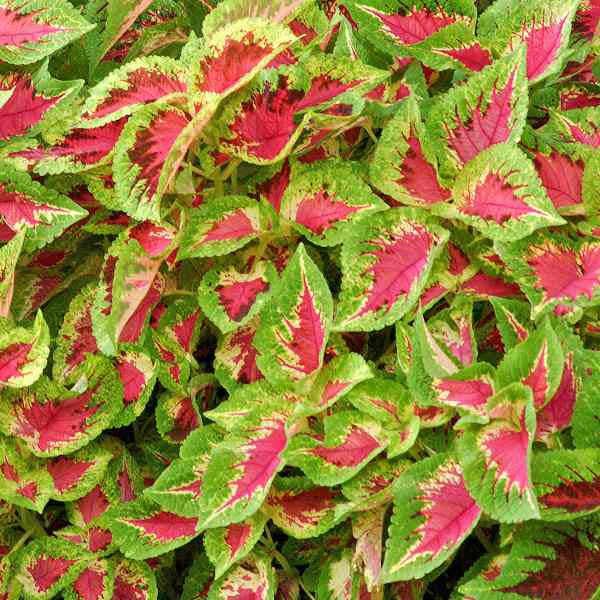 image of several coleus plants showing pointed leaves with bright pink centers and bright green edges, with faint cream line in between.