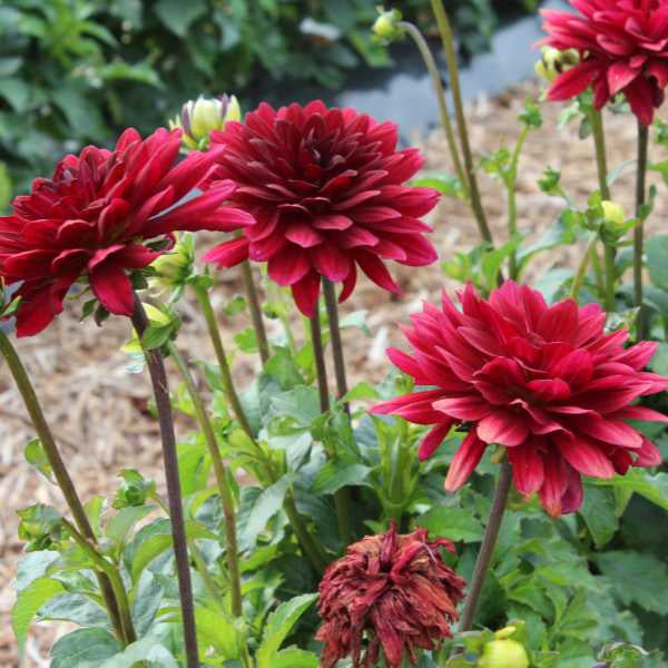 image of several bright deep red dahlia blooms on tall stems in garden
