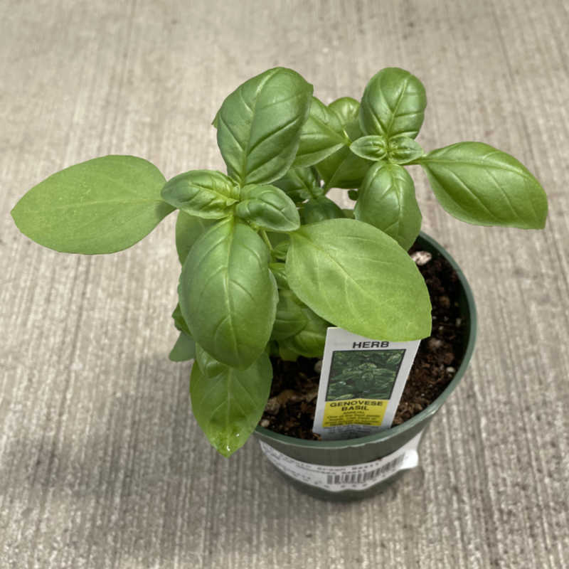 image of a small basil plant with pointed oval green leaves in a round pot sitting on a concrete floor