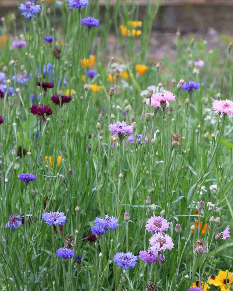 image of field with mix of wildflowers in violet, blue, pink burgundy and yellow on tall thin stems