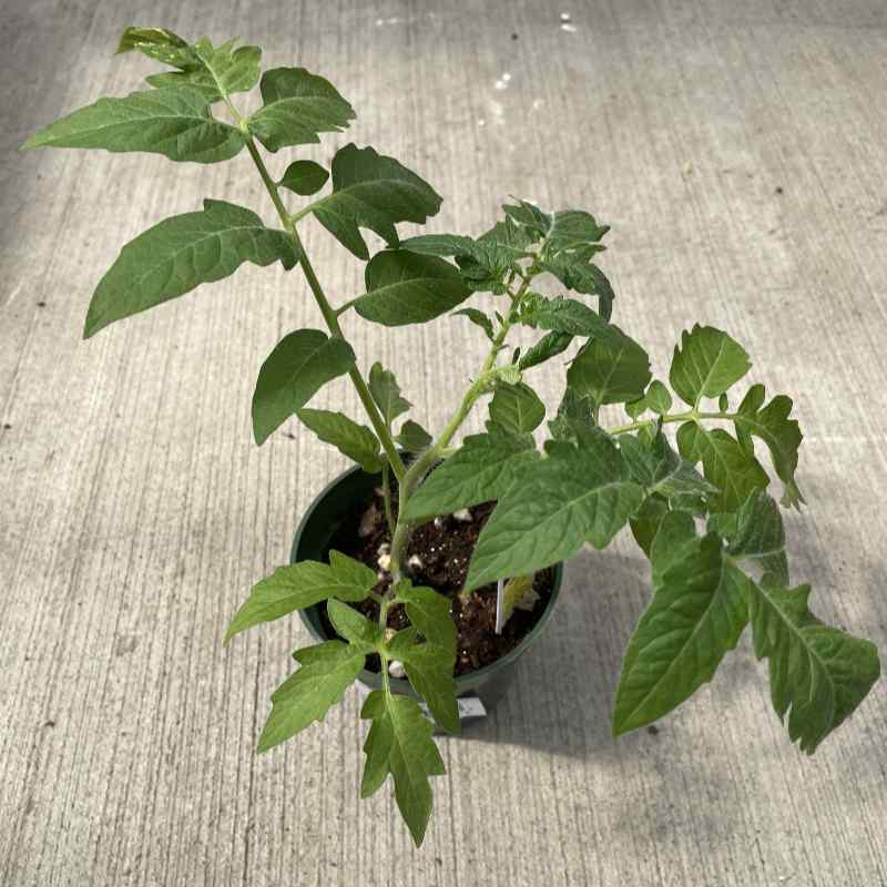 image of small tomato plant with several branches in a small round pot on a concrete floor
