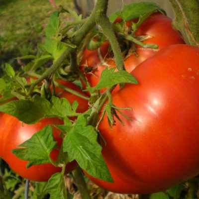 closeup image of large red tomato on green vines