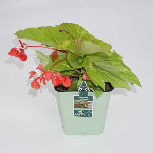 All About Color Canary Wings Begonia 6.5 inch pot
