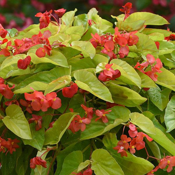 image of canary wing begonia with large serrated edge bright green leaves and bright red blooms hanging off to the side off red stems