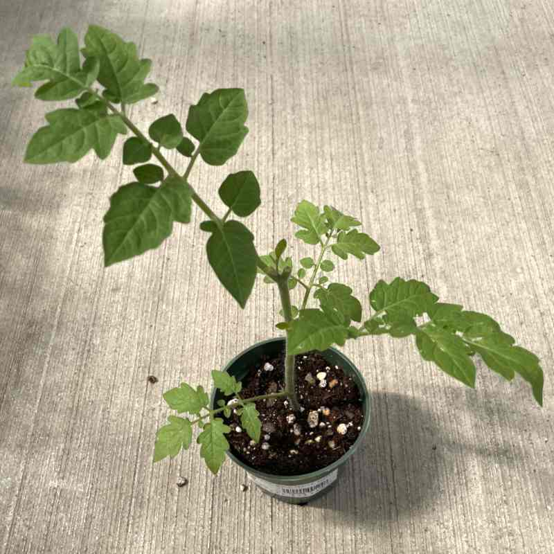 image of starter tomato plant with two branches showing leaves in a small pot sitting on a concrete floor