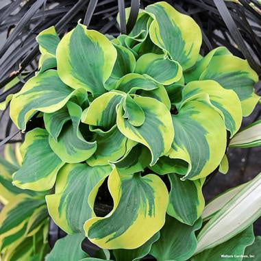 image of hosta plant with bright green ribbed leaves with darker shaded center of leafedges