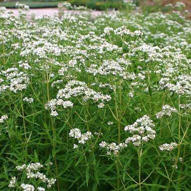 Pycnanthemum virgininum NGN - PINT