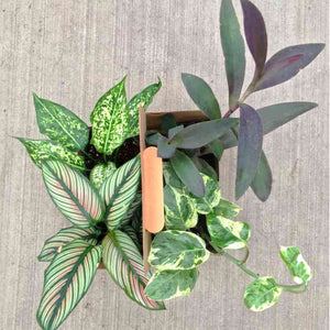 "UCP Seguin Grown 4"" Houseplant Four Pack"