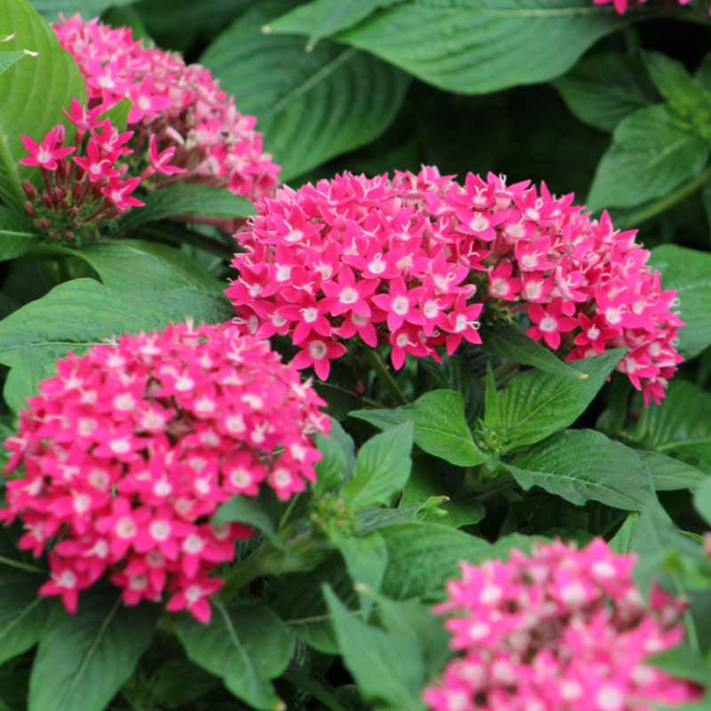 closeup image of mature plant with deep green pointed and ridged leaves and clumps of bright pink star shaped blossoms