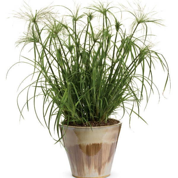 image of a papyrus plant in tan pot.  Tall thin green stalk stems with delicate pinwheel like foliage at the ends
