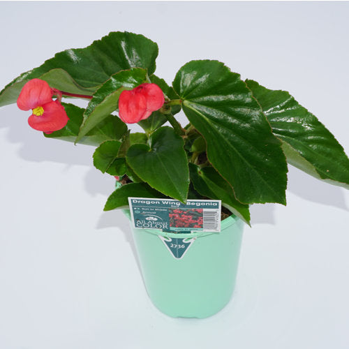 All About Color® Dragonwing Begonia Red 4.3 inch