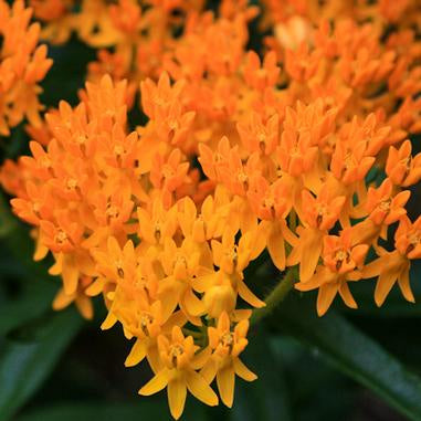 Dozens of small orange blooms clustered together on tall green stems