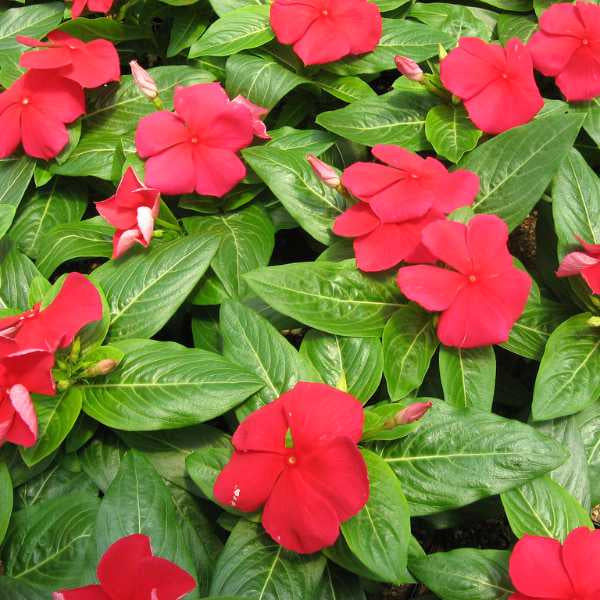 image of vinca plant with many red five lobed blooms on bright green pointed leaves