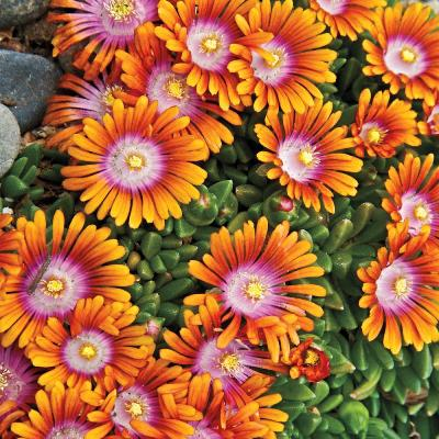 many petaled bloom with white center moving to pink, deep orange and then light orange at tips of petals
