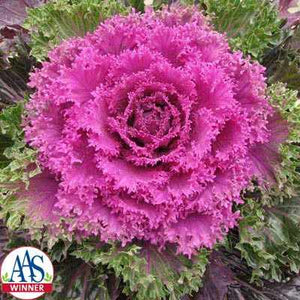image of mature kale glamour red with hot pink center and green edges
