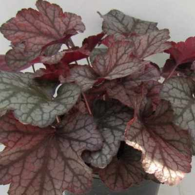 Coral Bells Heuchera with bronze purple leaves