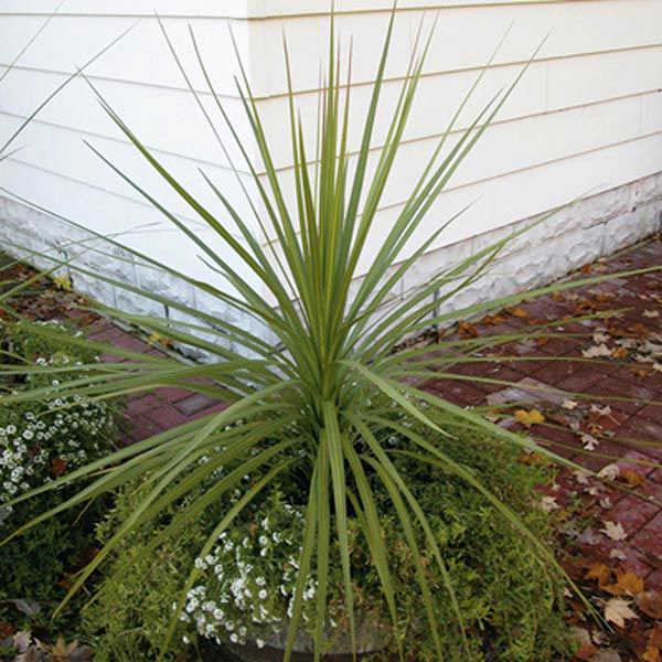 image of mature dracaena indivisa spike planted in container with other plantings