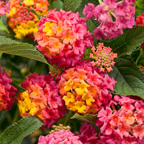 closeup image of lantana flowers showing many tiny blossoms in deep hit pink, orange and yellow