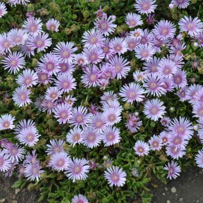 many petaled bloom with light purple petals and darker purple