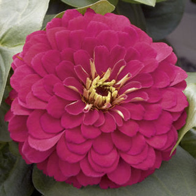 All About Color® Zinnia Magellan™ 4.3 inch