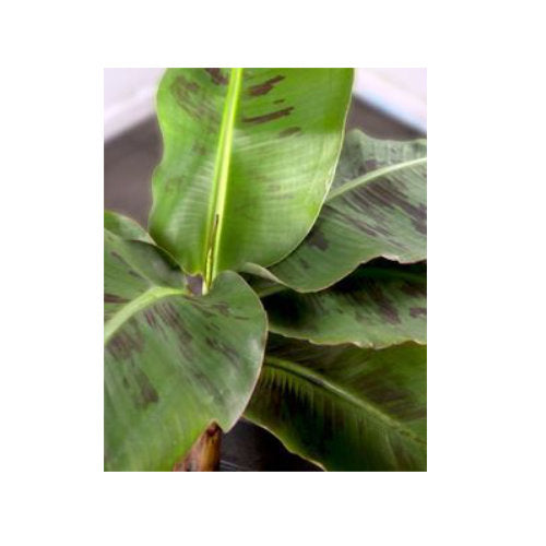Tropical 6.5 inch pot:  Musa Tropicana Banana Plant