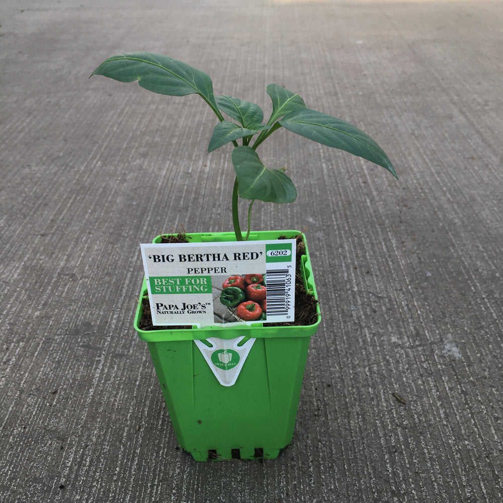 image of a starter big bertha plant in bright green square pot