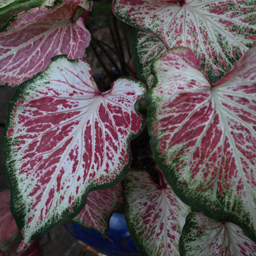 close up image of several caladium leaves with deep pink and white veined leaves edge in dark green