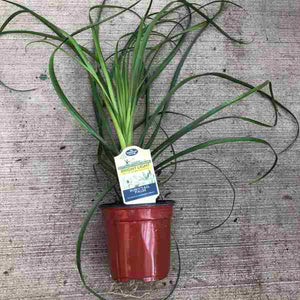 Ponytail Palm Beaucarnea recurvata in 4in pot