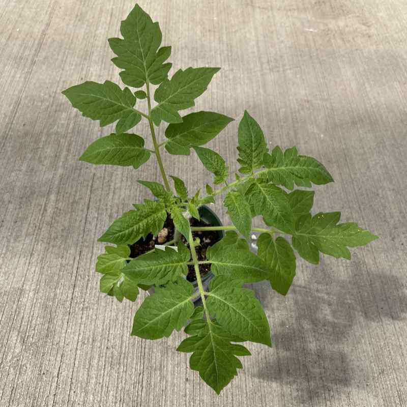 starter tomato plant with several multi lobed green leaves on a medium tall stem in a round pot on a concrete floor