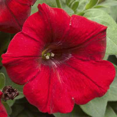 closeup image of petunia bloom in bright deep red