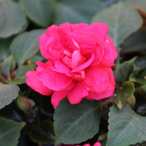 All About Color Silhouette® Double Impatiens in 4.3 inch pot