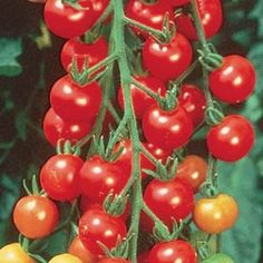 image of several small cherry sized tomatoes on a vine