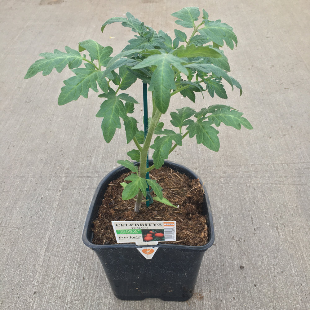image of starter tomato plant in black pot with no tomatoes yet