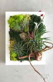 Airplant Greenwall