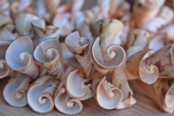 Cone-Shaped White and Cream Seashells from the Phillippines, String of 5