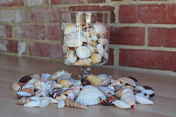 Mixed Seashells Totalling 2.75 Pounds