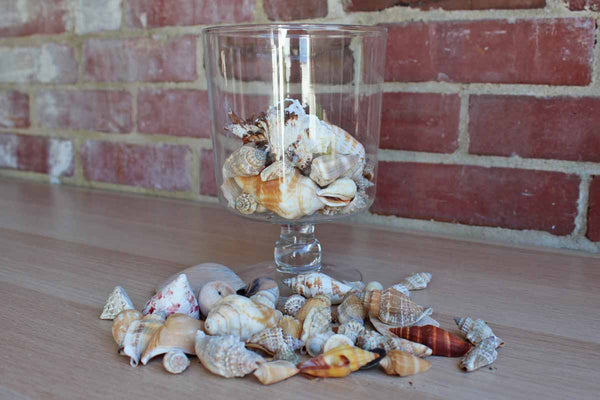 Mixed Seashells Weighing 1.20 Pounds