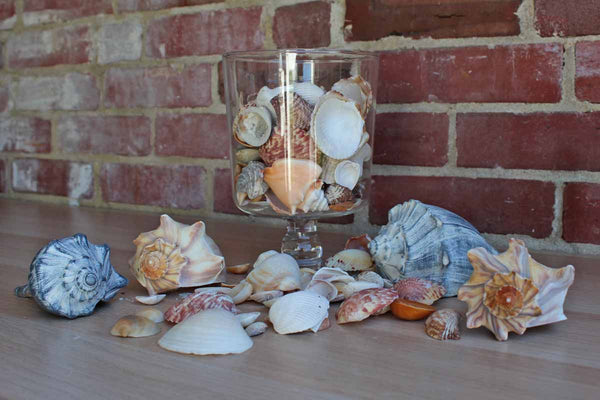 Mixed Seashells Totalling 3 Pounds