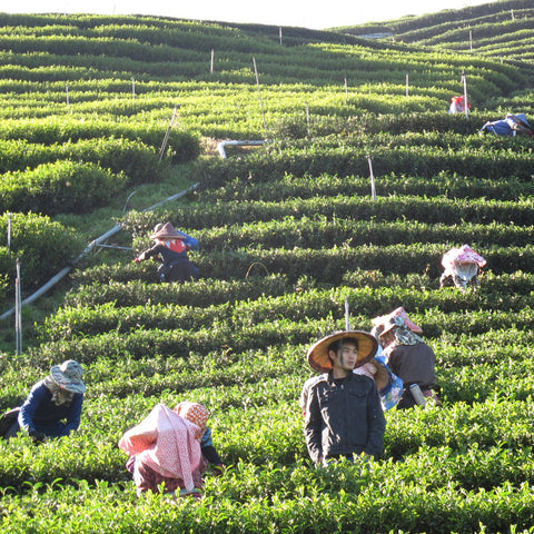 Pickers on the Lishan mountain (Taiwanese oolong)