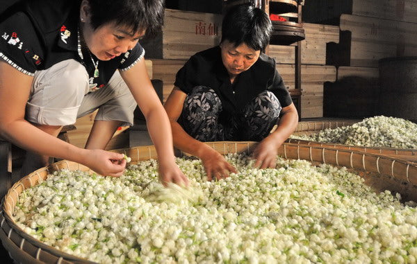 Fuzhou jasmine tea production