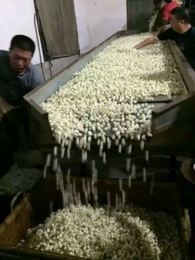 Fuzhou jasmine tea production.