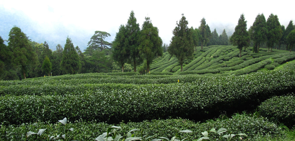 High mountain tea garden on the Lishan mountain (Taiwan)