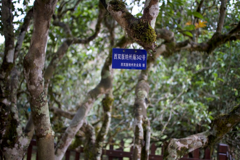 gushu (ancient tea tree) in Laobanzhang