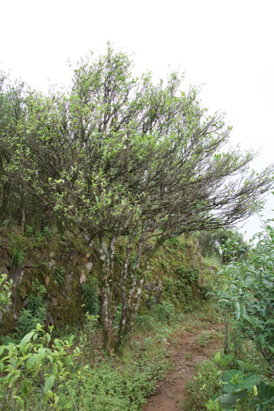 Tall tea tree