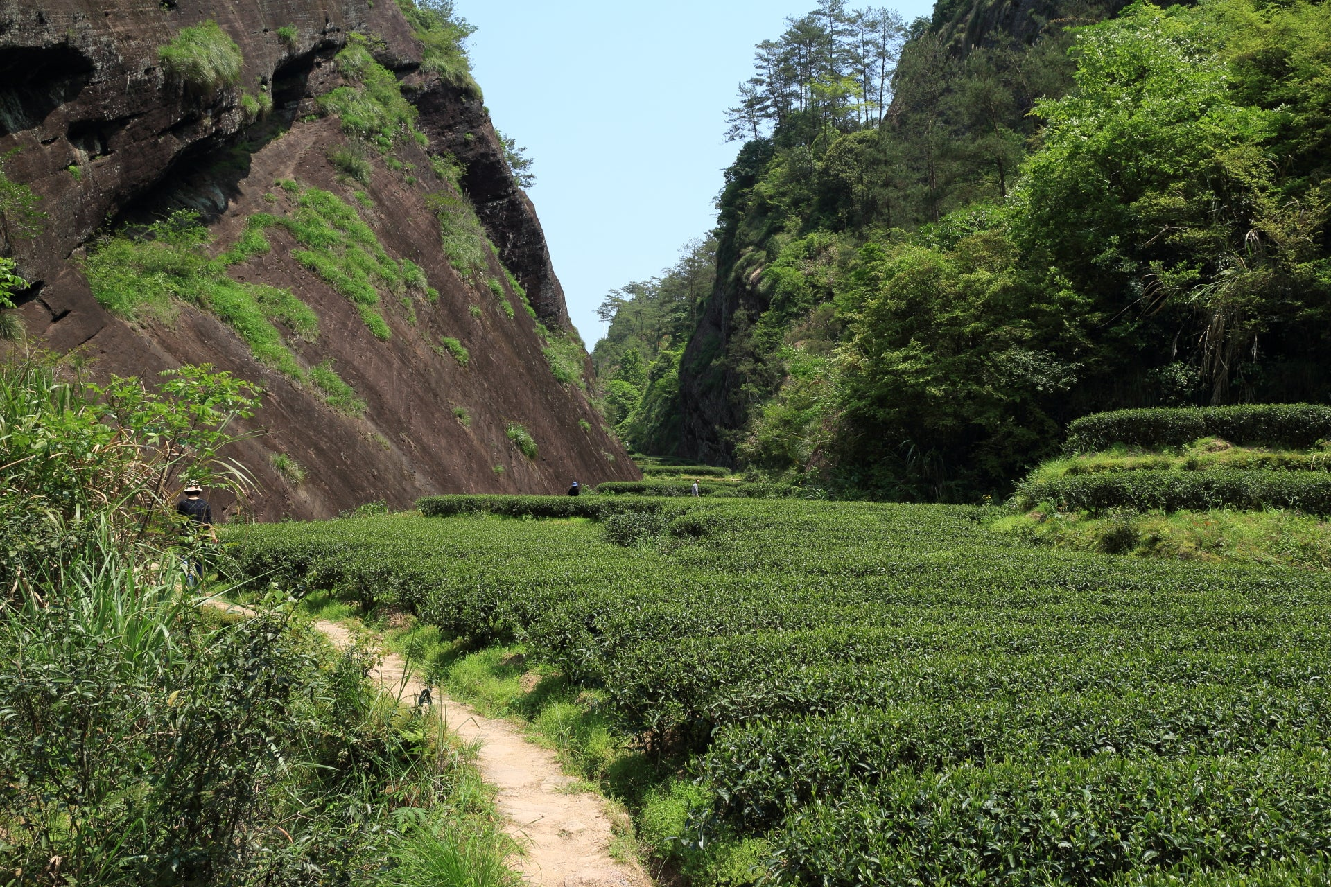 Tea bushes next to the dark cliff