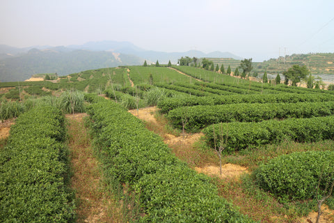 Plantations of Tieguanyin oolong tea